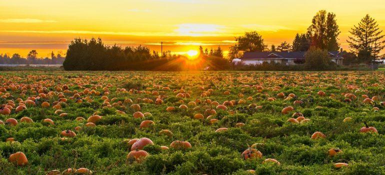 A pumpkin patch.